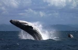 Le balene megattere dell'Ile St. Marie