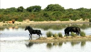 Cavalli selvatici alla Giara di Gesturi